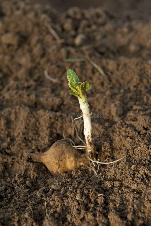 生长土豆幼木土壤 库存图片