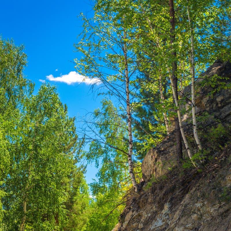 生长在一个岩石陡坡在阿尔泰山,哈萨克斯坦的桦树、杉木和雪松 晴朗日的夏天 库存照片