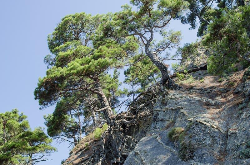 生长在一个岩石陡坡的杉木森林 库存照片