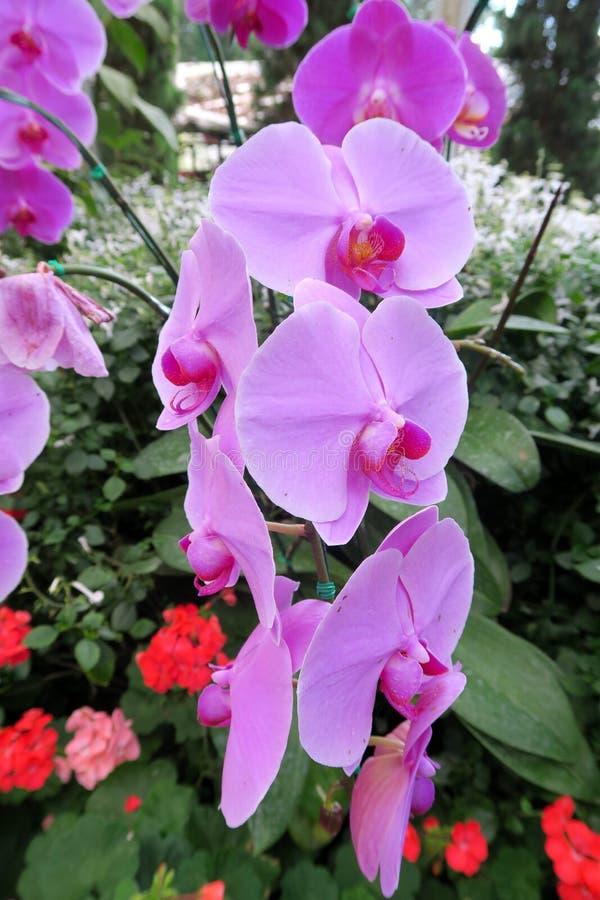 生长在一个庭院里的好的兰花在泰国 库存照片