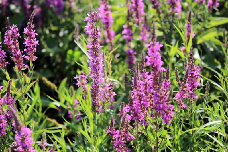 生长在一个晴朗的夏日的紫色野花 库存照片