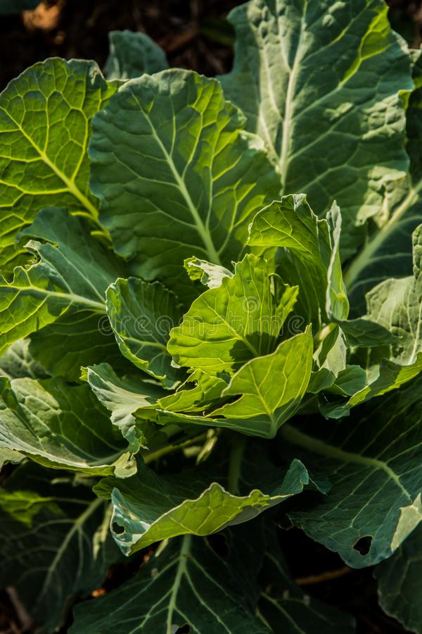 生长在一个晴朗的庭院里的散叶甘兰绿色 库存图片
