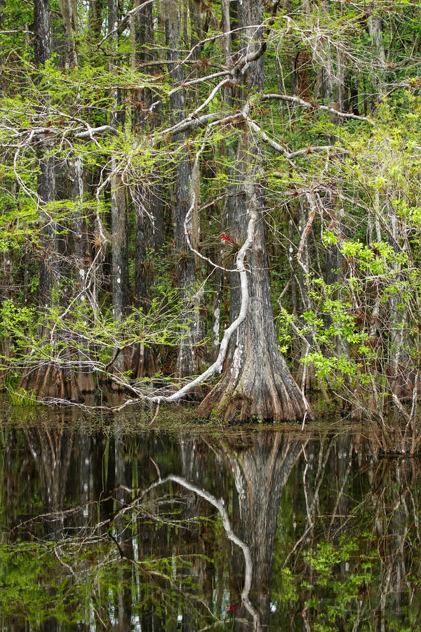 生长在一个沼泽的区域的池柏树在佛罗里达 库存照片