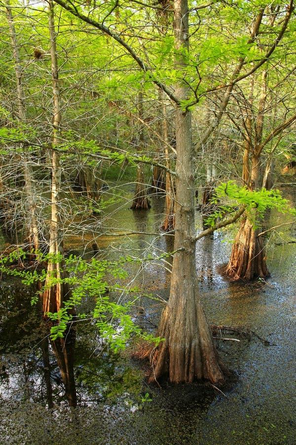 生长在一个沼泽的区域的池柏树在佛罗里达 免版税图库摄影
