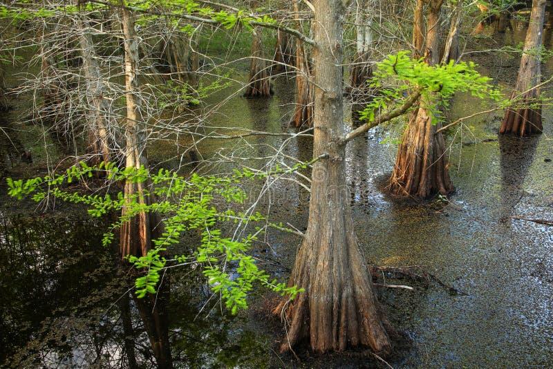 生长在一个沼泽的区域的池柏树在佛罗里达 免版税库存图片