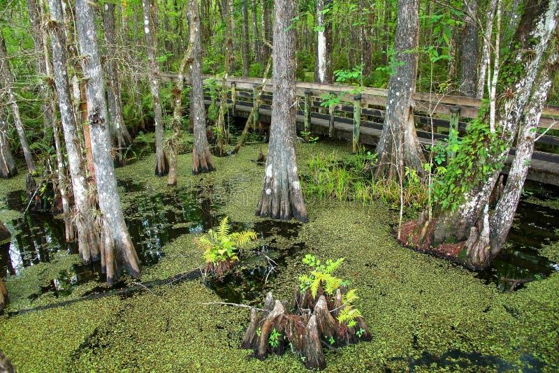 生长在一个沼泽的区域的池柏树在佛罗里达 免版税库存照片