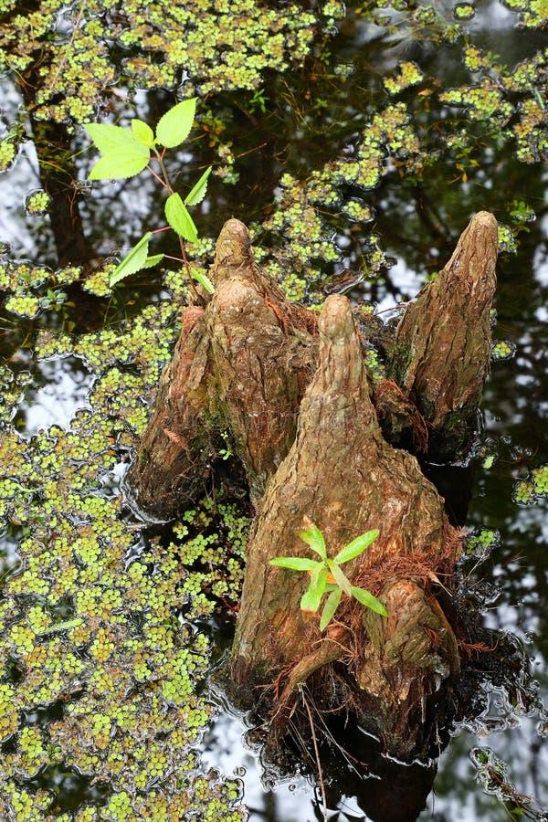 生长在一个沼泽的区域的池柏膝盖 库存照片
