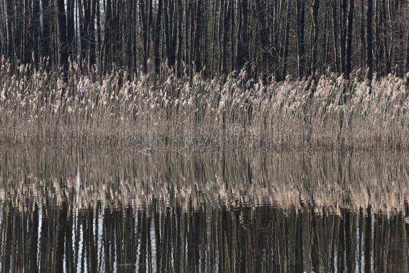 生长在一个湖的美丽的黄色纸莎草在spr的一个晴天 库存图片