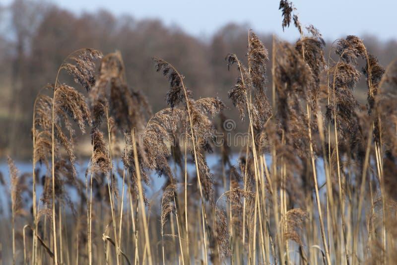 生长在一个湖的黄色纸莎草在春天香蒲的一个晴天 免版税库存图片
