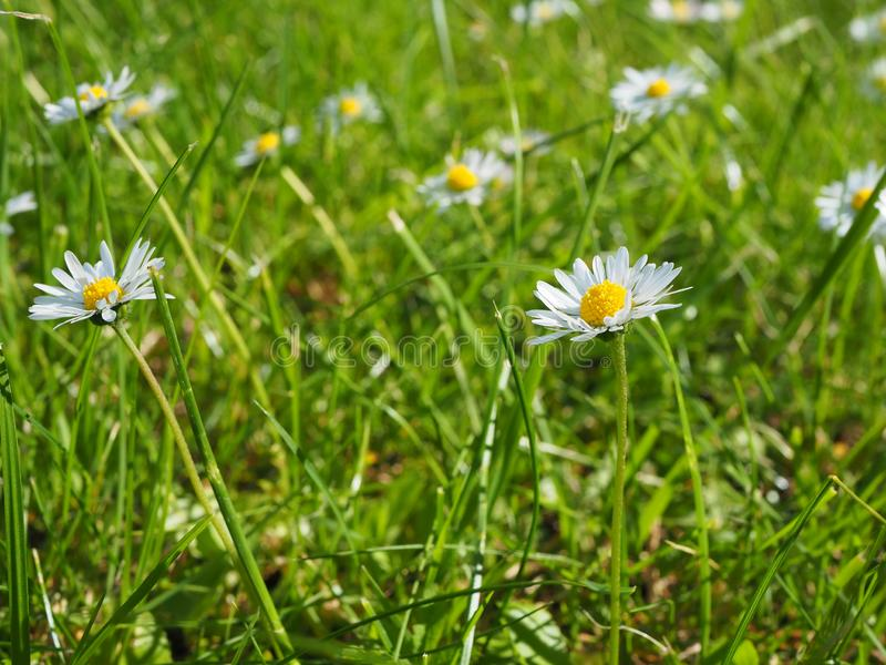 生长在一个绿色草甸的野生雏菊在好日子 库存图片