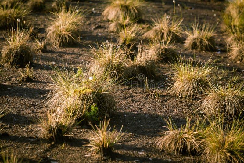 生长在一个自然沼泽栖所的Cottongrass 在weltalnds的草丛 免版税图库摄影
