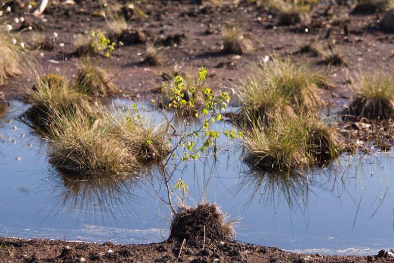 生长在一个自然沼泽栖所的Cottongrass 在weltalnds的草丛 免版税库存照片