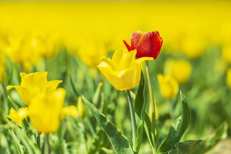 生长在一张黄色花床上的唯一红色荷兰郁金香在春天期间 库存照片