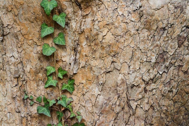 生长在一棵树的常春藤分支本质上 生长毒葛的植物接近的细节, 库存图片