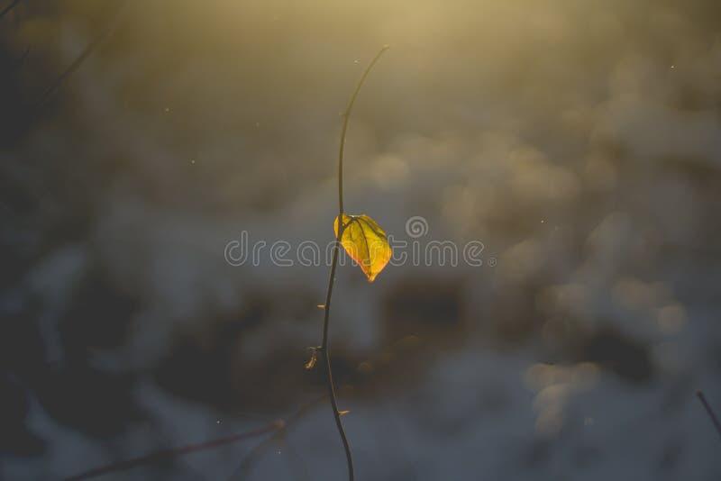 生长在一棵稀薄的植物的一片唯一叶子的美丽的特写镜头射击在冬天期间的结尾 库存照片