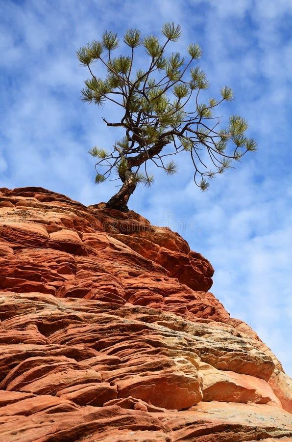 生长在一种砂岩形成上面的杉树在锡安 免版税库存照片