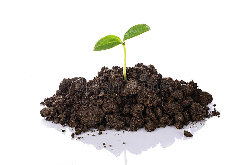 生长在与反射的土壤的年轻幼木,隔绝在w 免版税库存图片