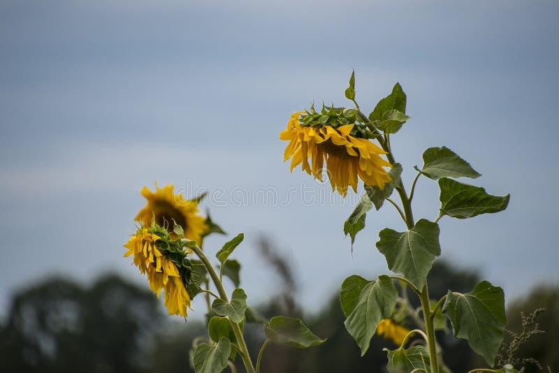 生长在与成熟黑种子的领域的大黄色向日葵在好日子 免版税库存照片