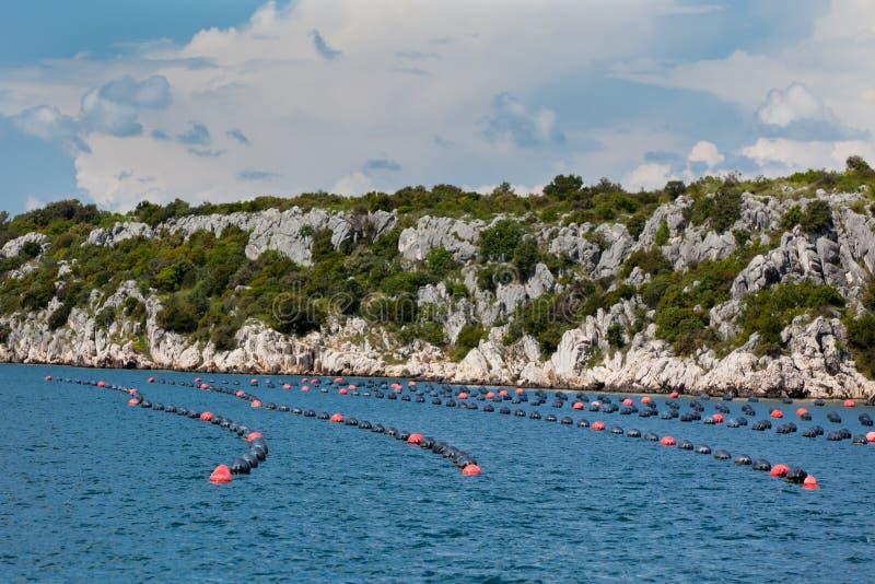 生长在亚得里亚海,克罗地亚的淡菜 免版税库存照片