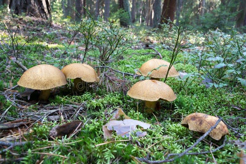 生长在从绿色青苔,可食的真菌天鹅绒牛肝菌牛肝菌类variegatus的森林地板上的小组许多蘑菇牛肝菌蕈类 免版税库存图片