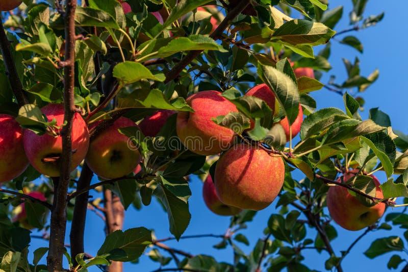 生长在他们的自然环境的树的甜,红色,水多的苹果 免版税图库摄影