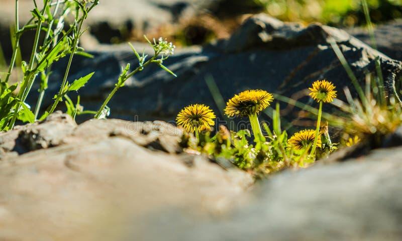 生长在假山花园里的新鲜的黄色蒲公英 库存图片