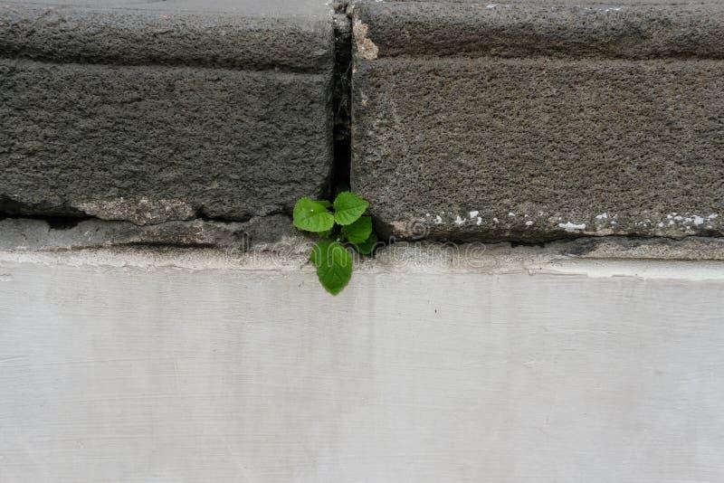生长在具体老台阶的植物 希望&生存概念 免版税库存图片
