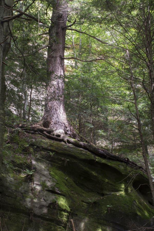 生长在冰砾的大树 免版税库存照片