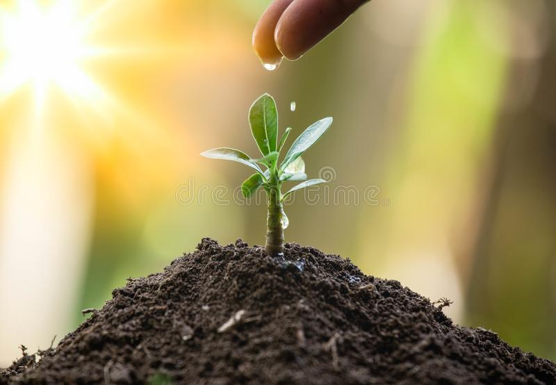 生长在土壤和小滴的植物从手的水,有阳光的在早晨 一点树为环境的救球增长 免版税库存图片