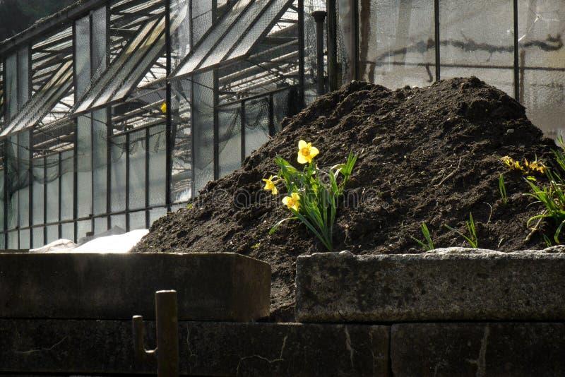 生长在土壤堆的郁金香 图库摄影