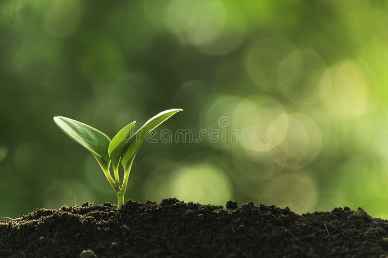 生长在土壤概念救球自然或农业的特写镜头年幼植物在软的绿色树背景 免版税库存图片