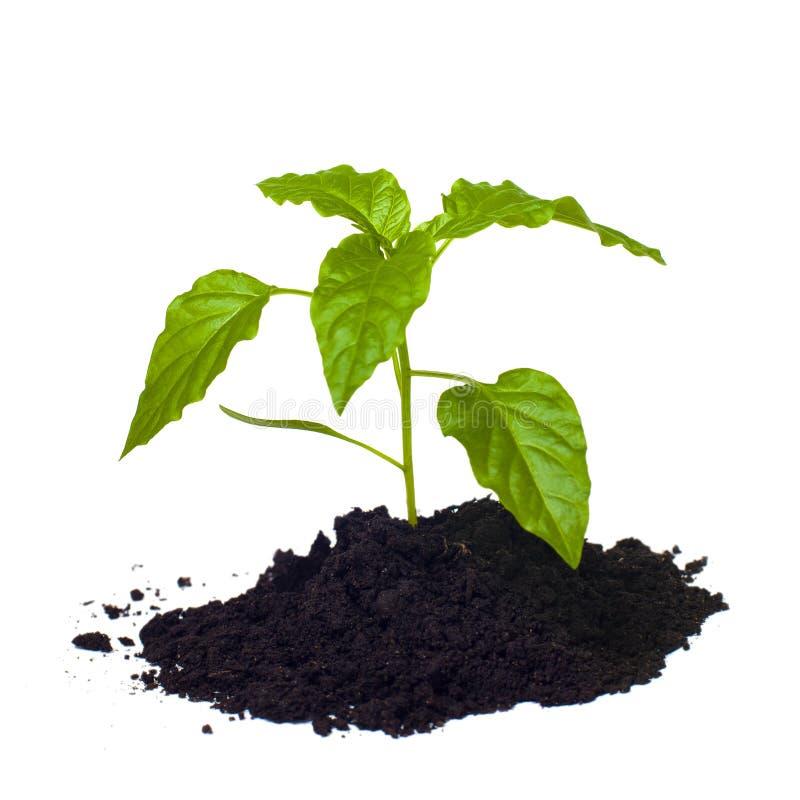 生长在土壤的年轻幼木。 库存照片