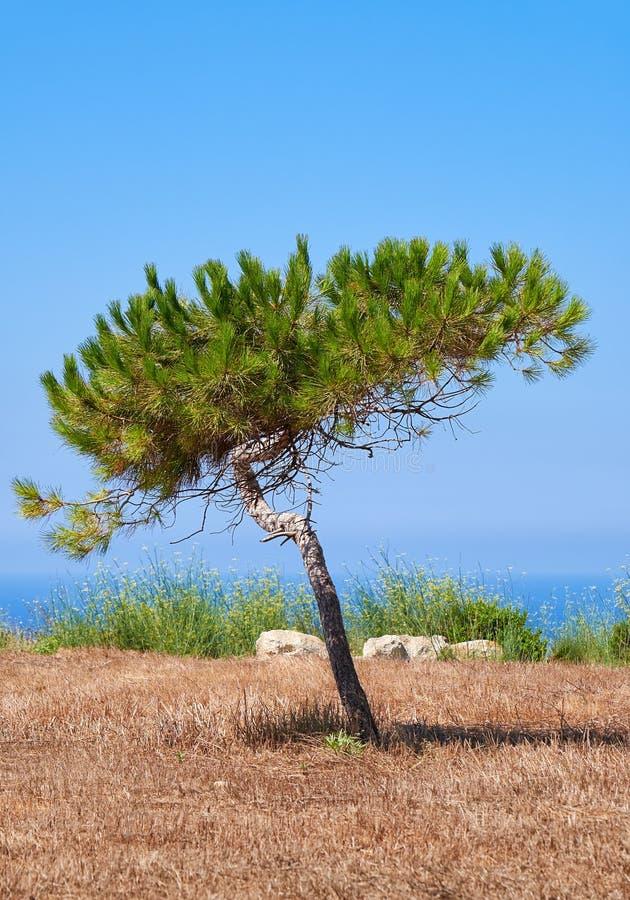 生长在地中海的被烧焦的地球上的一棵孤独的杉木 库存照片