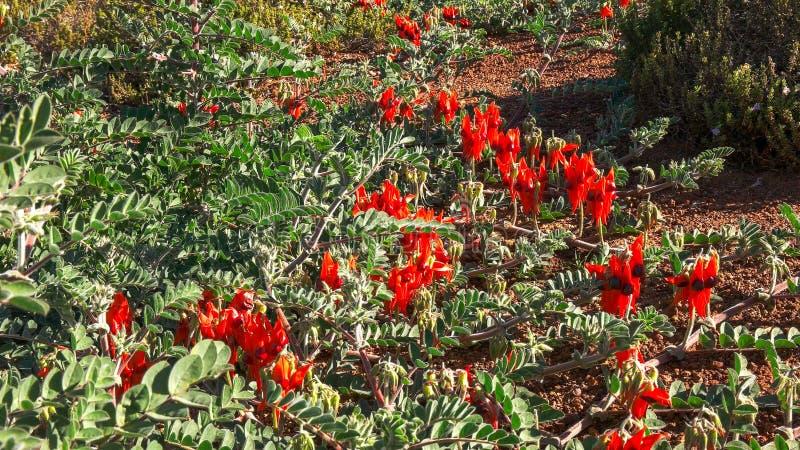 生长在地面上的一粒明亮的红色sturt的沙漠豆的宽射击 免版税图库摄影