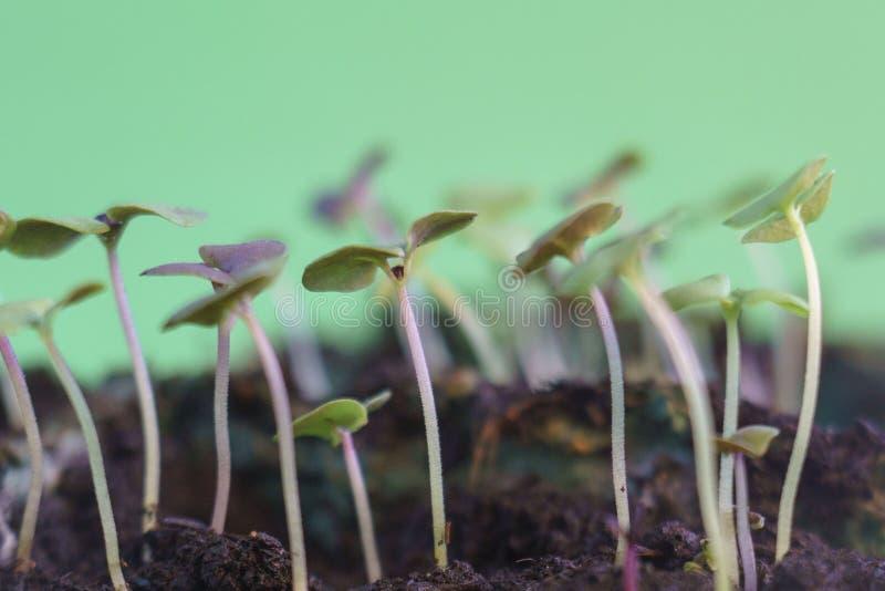 种植生长在地面发芽从种子春天夏天自然过程的小青豆.
