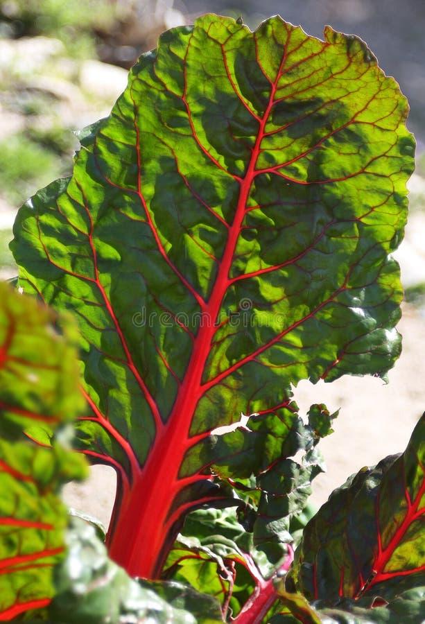 生长在地面的年轻绿色甜菜特写镜头在庭院里 免版税库存图片