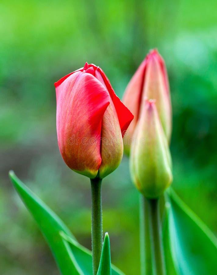 生长在域的美丽的郁金香 免版税库存图片