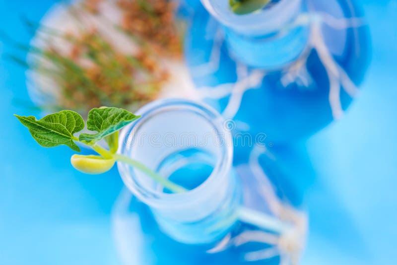 生长在培养皿的幼木在生物技术学的实验室 免版税图库摄影