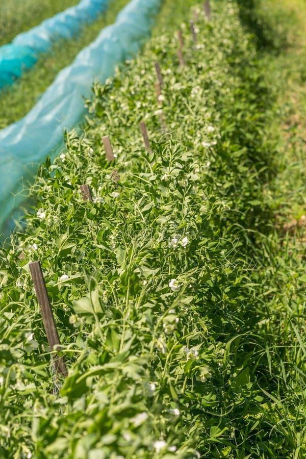 生长在太阳下的有机香豌豆花灌木 库存照片