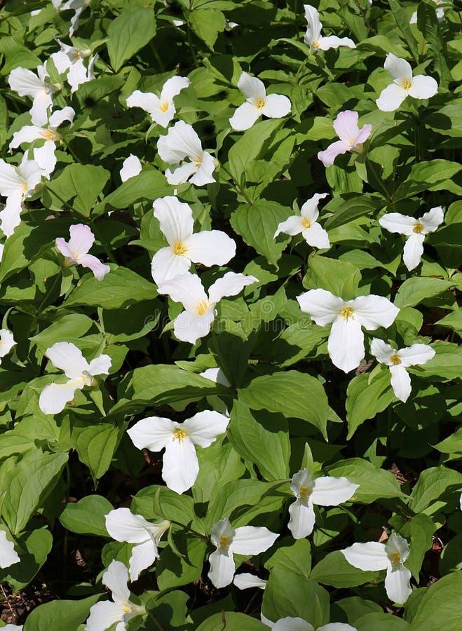 生长在安大略的几棵白色延龄草 免版税库存照片