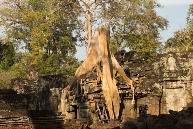 生长在寺庙废墟,吴哥窟,柬埔寨的树 库存照片