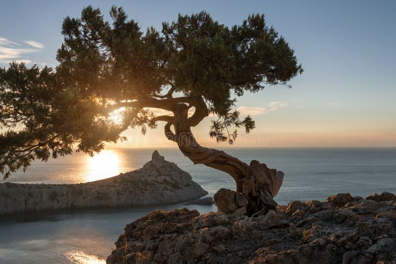 生长在山的倾斜的单独杉树在Crim的 图库摄影