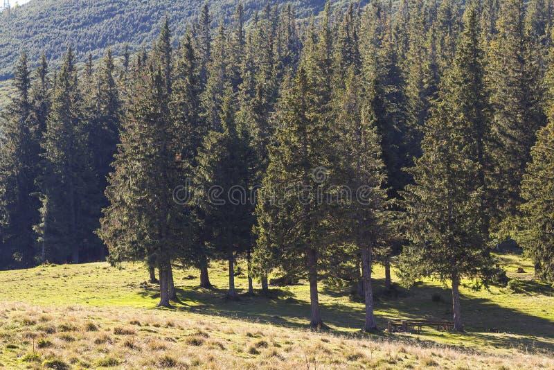 生长在山陡坡的壮观的杉木森林,报道用豪华绿草 发光明亮的太阳的光芒通过可能 免版税库存图片
