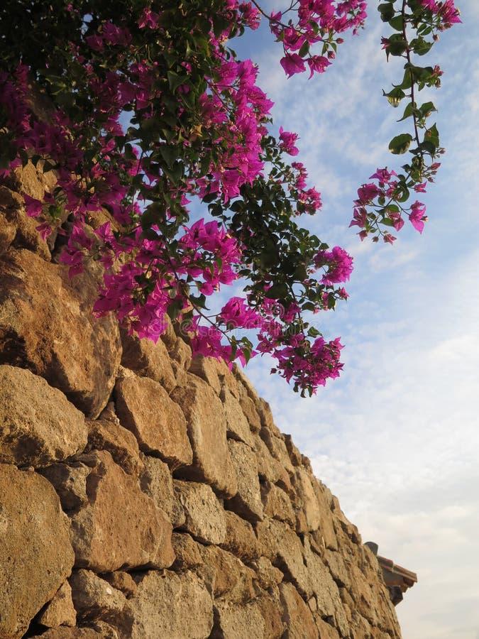 生长在岩石护墙上的九重葛灌木 库存照片