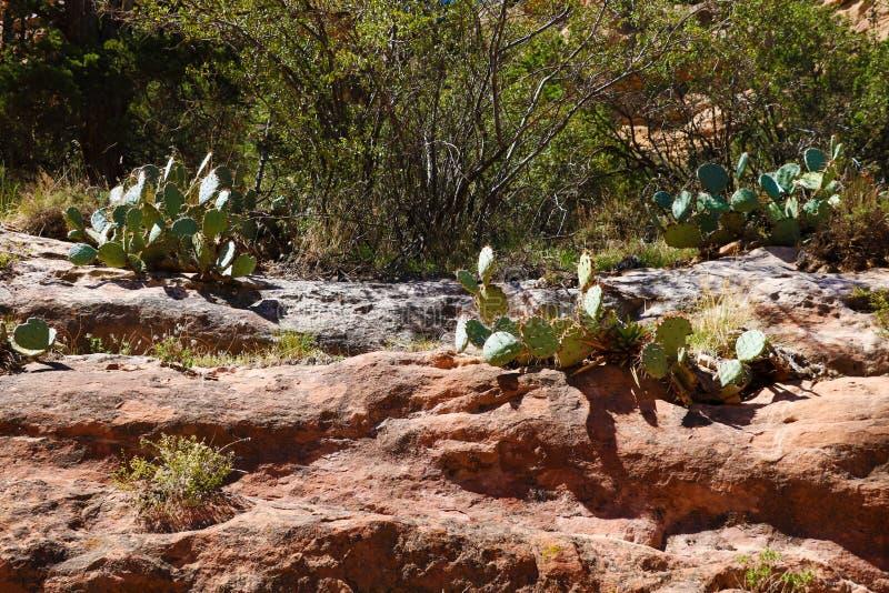 生长在岩石的仙人掌看法在亚利桑那在一好日子 免版税库存照片