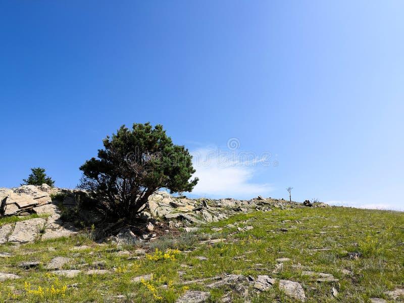 生长在岩石的孤立杉木 在岩石增长的一棵唯一树 免版税图库摄影