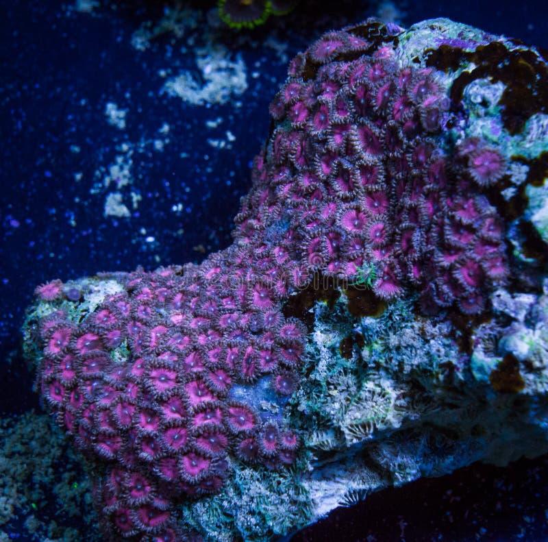 生长在岩石的桃红色Palythoa软的珊瑚珊瑚虫 库存照片