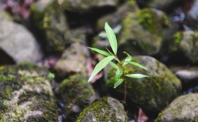 生长在岩石石头的小植物树在小河河自然附近 免版税库存照片
