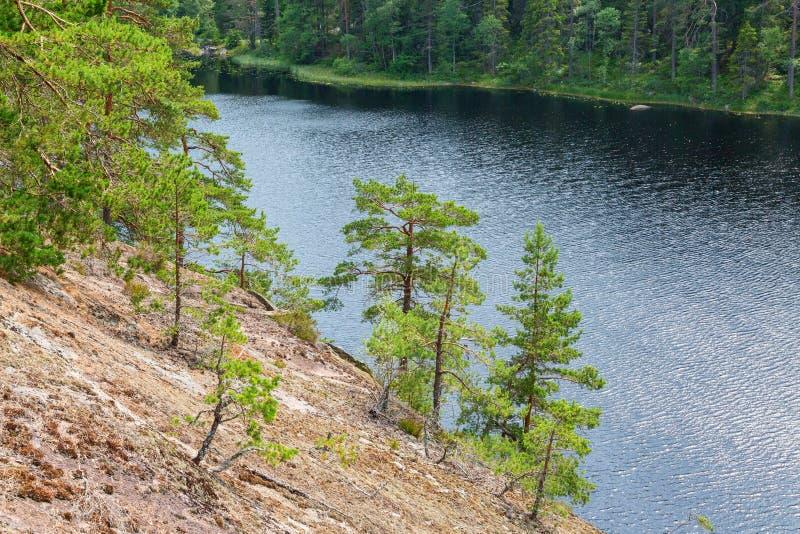 生长在岩石面孔的杉树 免版税图库摄影