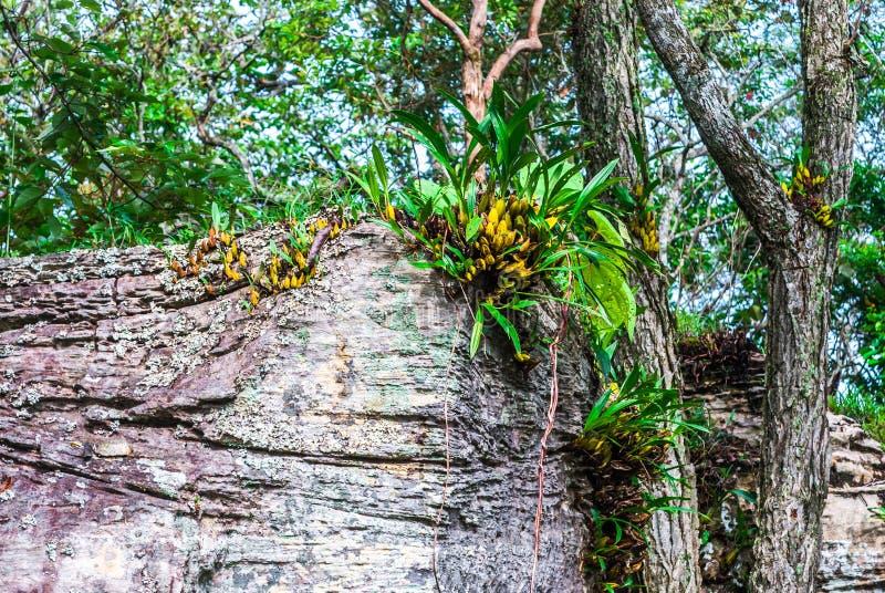 生长在峭壁的野生兰花在森林[石斛兰属里] 库存照片